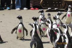 isa-carstens-penguin-day-oct2013-04